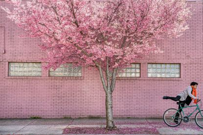 A cyclist rides past a cherry blossom tree along Penn Avenue, Thursday, March 26, 2020, in the Strip District. (Steph Chambers/Post-Gazette)