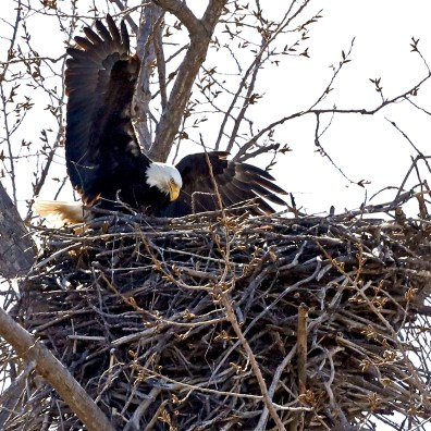 A bald eagle returns to its nest at the Magee Marsh Wildlife Area in Oak Harbor, Ohio, on Tuesday, April 9, 2019. THE BLADE/KURT STEISS CTY eaglerover09p