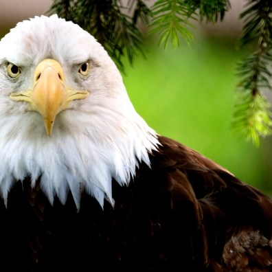 One of the two bald eagles stares as it sits on a branch as ZOOtoDO event guests go by at the Toledo Zoo in Toledo on Friday, June 21, 2019. Both eagles are injured, which forced them to be in captivity. The one pictured suffered a wing injury. Both are on loan from the United States Department of the Interior. THE BLADE/KURT STEISS