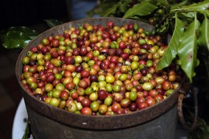 """""""The coffee-growing industry in Puerto Rico employs thousands of workers, many of them coffee pickers who are paid traditionally by the piece for the coffee they pick,"""" said Jose R. Vázquez, director of the Wage and Hour Division's Caribbean District Office. (Credit: © Mauricio Pascual)"""