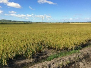Between August and September 2014, 70 percent of the rice to be served in school cafeterias is a product of the Lajas Valley crops.