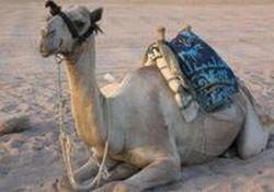 private-tour-sinai-jeep-safari-abu-galum-snorkeling-camel-ride-and-in-sharm-el-sheikh-egypt
