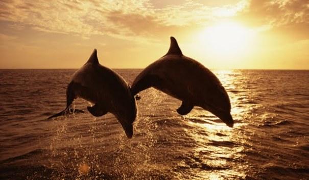 Spinner dolphins in Kalpitiya, Sri Lanka