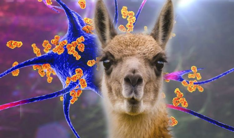 Covid treatment: Llama and camel nanobodies shown to combat COVID-19 transmission