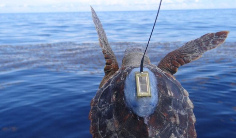 We may finally know where young turtles spend their 'lost years'
