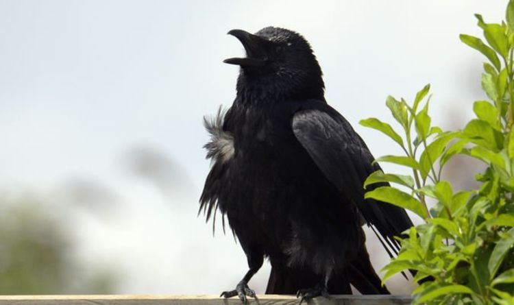 How to get rid of crows from your garden - 6 key tips to banish bird pests