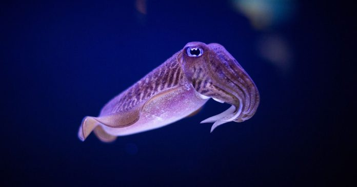 The Cuttlefish's robust memory system is a game changer Age