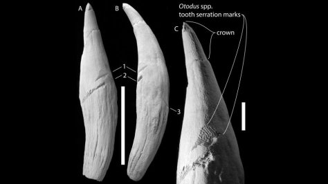 Ancient sperm whale tooth shows the three gouge marks from the megatoothed shark at different angles. (Stephen Godfrey, Acta Palaeontologica Polonica 2021)