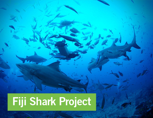 Shark Conservation Project in Fiji