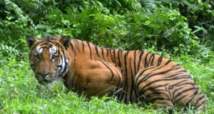 a tigress killed in india