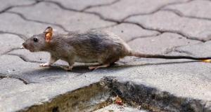 rat hepatitis E