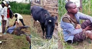 man arrested with cow
