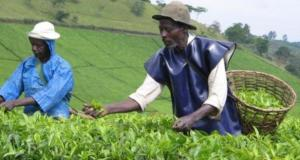 uganda tea growers