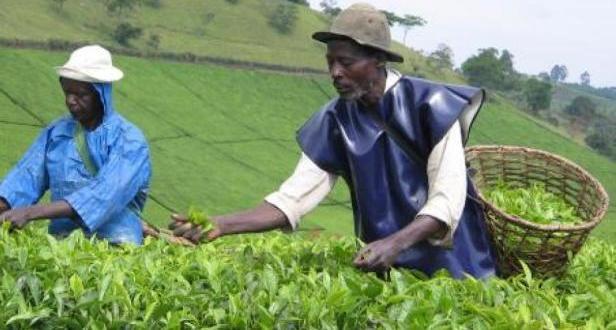 uganda tea growers
