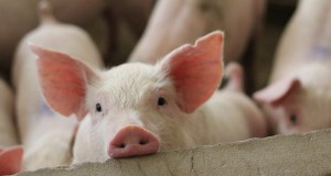 Pig Kidney Works In Human Patient in Potential Miracle