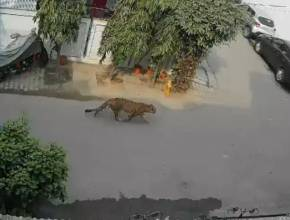 leopard ghaziabad, leopard ghaziabad viral video, leopard ghaziabad, cctv footage leopard viral video, ghaziabad, UP, trending, indian express, indian express news