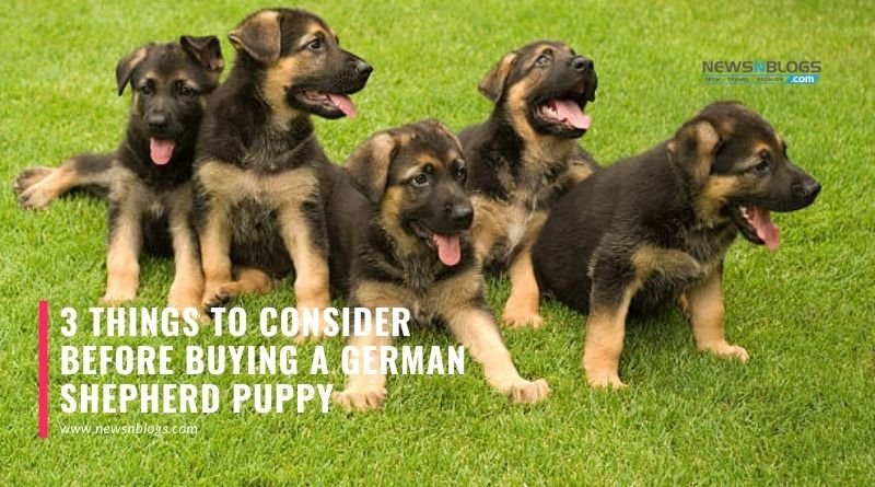 3 Things to Consider Before Buying a German Shepherd Puppy