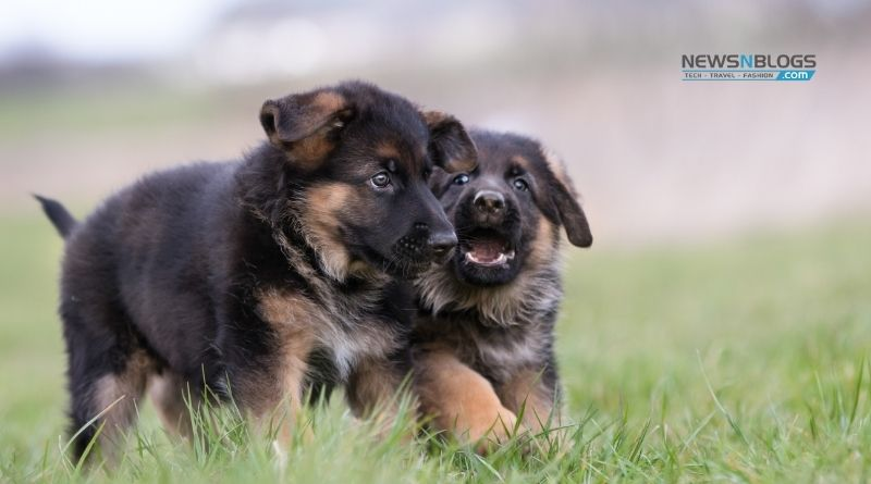 Buy German Shepherd Dogs in India