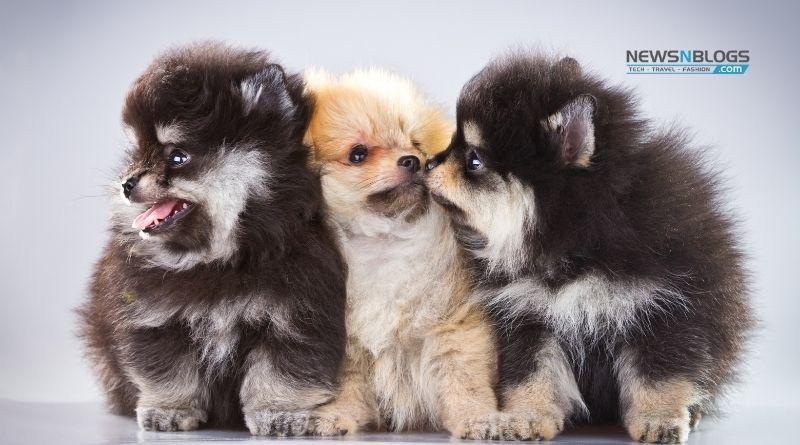 Buy Pomeranian Dog in India