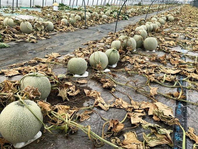 北海道空知郡の寺坂農園のメロン畑