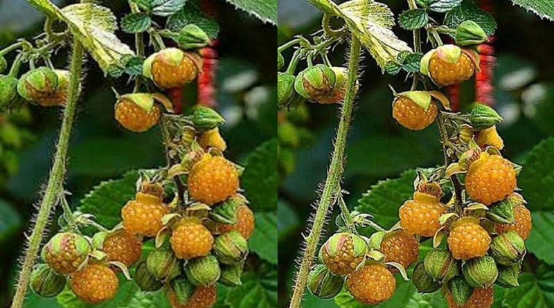 उत्तराखंड के पहाड़ी इलाकों में अनेक प्रकार के औषधि पाई जाती हैं, जिसमें से एक रसबेर्री यानी कि हिसालू हिमालय रसबेर्री है जो फल के साथ साथ एक महत्वपूर्ण औषधि भी है।