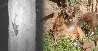 उत्तराखंड के जंगलों में दिखी विलुप्त हो चुकी उड़ने वाली दुर्लभ गिलहरी, पंजे के फर को बना लेती है पैराशूट