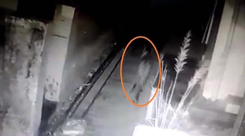 पिथौरागढ़: CCTV में कैद हुआ युवक का शिकार करने वाला 'लंगड़ा' गुलदार! ग्रामीणों में खौफ