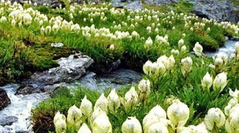 उत्तराखंड के रुद्रप्रयाग और चमोली जिले में बर्फबारी के साथ ब्रह्मकमल भी खिलने लगा है। फूल की धार्मिक और औषधीय विशेषता है।