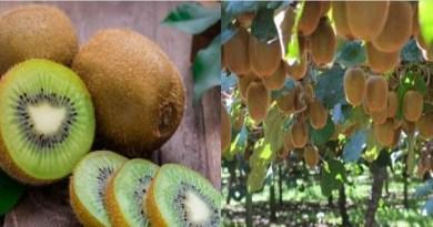 बागेश्वर में कीवी उत्पादन से हो रहे मुनाफे को देखते हुए उद्यान विभाग अब जिले को कीवी उत्पादन हब बनाने की दिशा में काम कर रहा है।