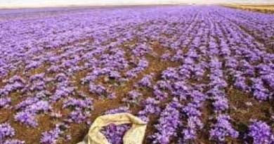 अल्मोड़ा में किसानों को केसर की खेती के लिए प्रेरित किया जाएगा। डीएम नितिन सिंह भदौरिया के निर्देश पर जिले के अलग-अलग विकासखंडों में शेर-ए-कश्मीर कृषि यूनिवर्सिटी से केसर के बल्ब मंगाकर केसर की उन्नत खेती की जा रही है।