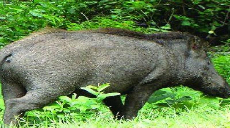अल्मोड़ा: सूअर के हमले में महिला की दर्दनाक मौत, परिवार में मचा कोहराम