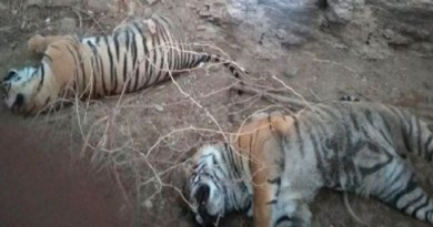 नैनीताल के कॉर्बेट नेशनल पार्क में एक हफ्ते में दो टाइगर की मौत से पार्क प्रशासन में हड़कंप मच गया है। एक बाघ का शव रविवार मिला जबकि दूसर बाघ का शव 15 मार्च को मिला था। गौर करने वाली बात ये है कि दोनों बाघों के शवों की एक जैसी स्थिति थी।