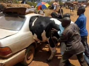 Photos Of A Big Cow Being Forced Into A Small Car For Eid El Kabir Celebration Goes Viral