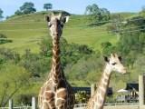 Safari West Rebounds