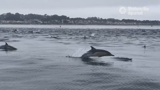 Dolphins at Monterey
