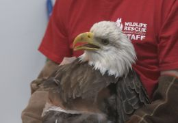 Donations Needed for Injured Bald Eagle