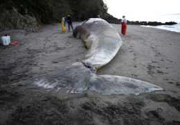 Record Gray Whale Deaths Spark Probe