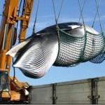 【悲報】日本の捕鯨動画、海外から大バッシング