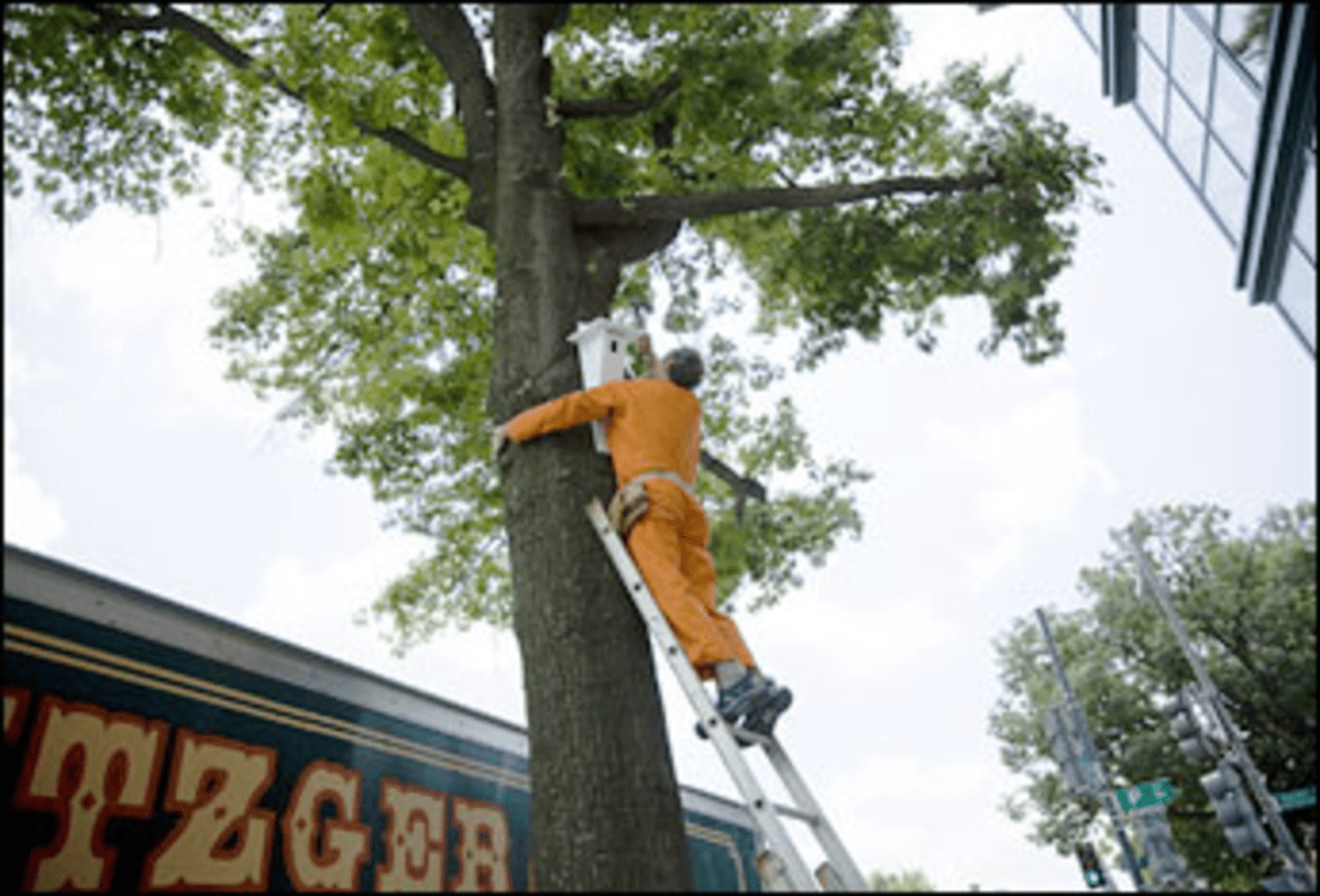 Nailed Later: Peter Winant attaches one of Workingman Collective?s bird habitats to a 14th Street tree on June 11.