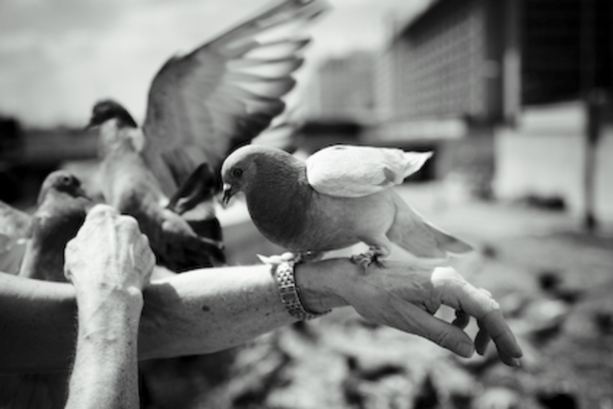 Pigeons in SW