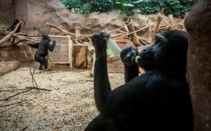 В зоопарке США коронавирусом впервые заразились гориллы