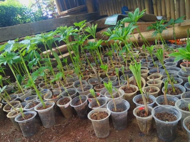 tanaman-porang-wonogiri2