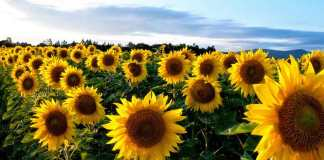 bunga-matahari