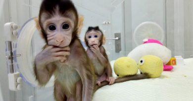 """""""Nu intenționăm să clonăm oameni"""", spun cercetătorii chinezi care au creat primele maimuțe clonate din lume"""
