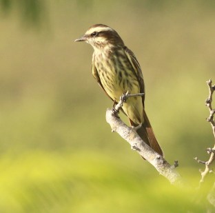 (Image) Variegated Flycatcher