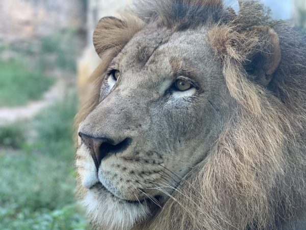 Photo of a male lion at San Antonio Zoo