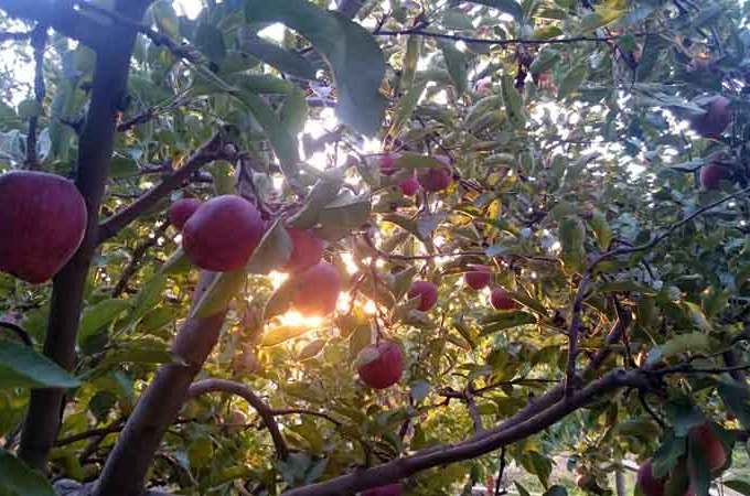 Scarlet apples ready for harvest in Lebanon's Baskinta | Source: Newsroom Nomad