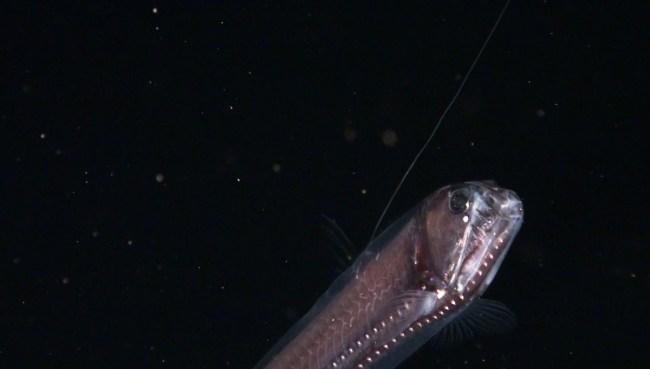 Chauliodus slaoni | Source: OCEANA