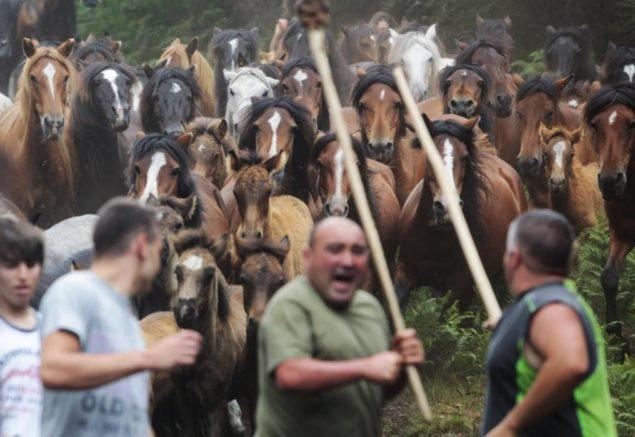 """Лошади скачут, поскольку они окружены во время """"Десяти кубометров Rapa Bestas"""" традиционное событие в деревне Сабуседо, северо-западной из Испании, 4 июля 2015. В первые выходные месяца июля сотни диких лошадей окружаются, подстригаются и ухаживаются в различных деревнях в испанской северо-западной области Галисии. (REUTERS/Miguel Vidal)"""