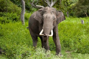Asian young male elephants prefer to be solitary